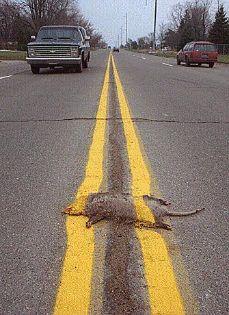 Photo: roadkill with road line markings painted right over the top